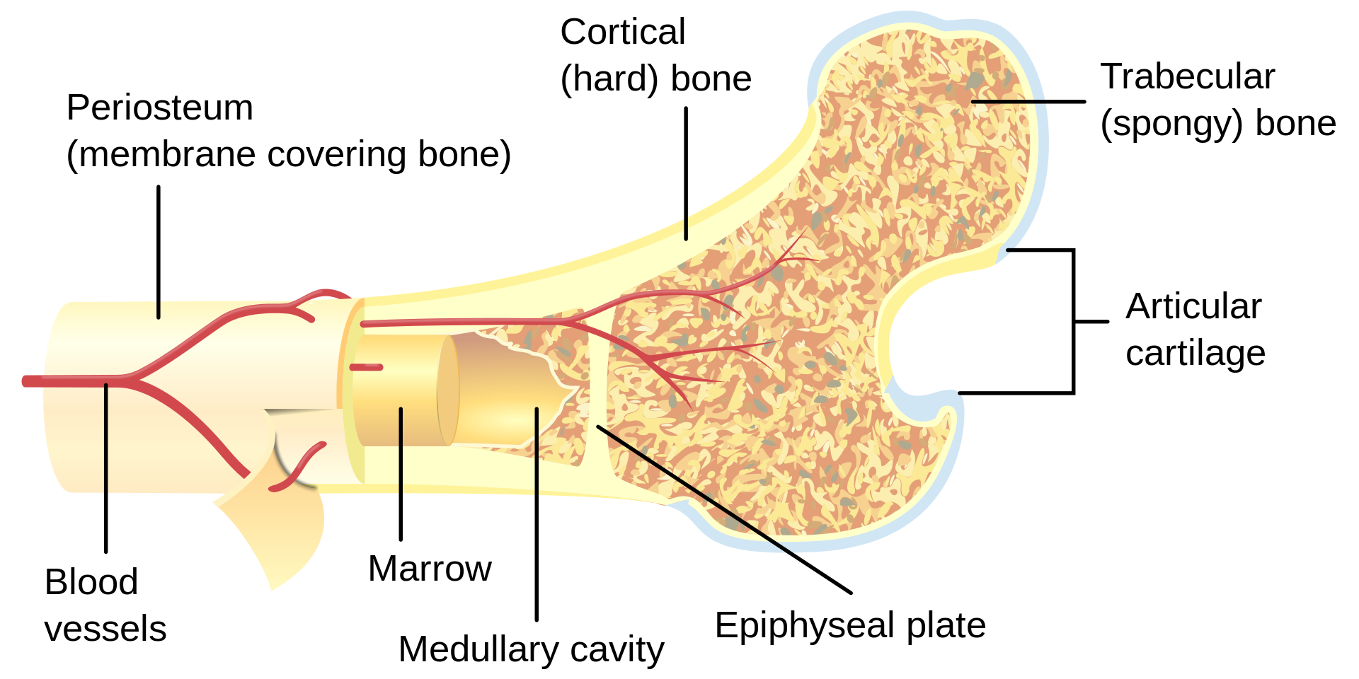Bone_cross-section